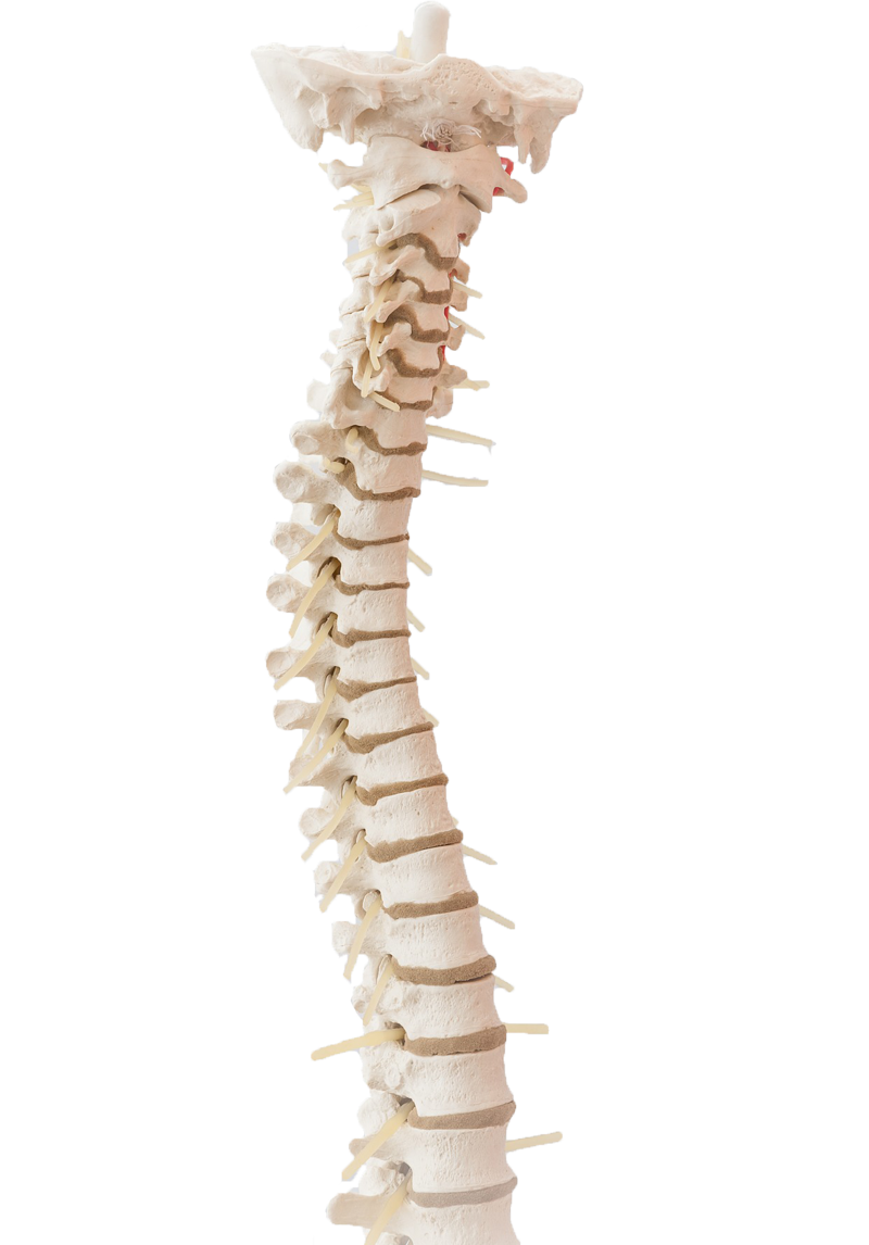 Adel Pediatric Chiropractic Spine